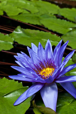 Tropical Waterlily Nymphaea Director George T Moore Stock Photo - 10747657