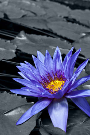 Tropical Waterlily Nymphaea Director George T Moore, colorkey effect