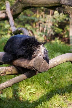 bearcat: Binturong (Arctictis binturong), or Asian Bearcat, or Palawan Bearcat, or  Bearcat, is a species of the family Viverridae Stock Photo