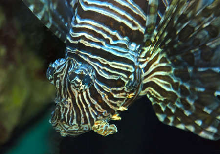 Close up of a lionfish looking into the camera photo