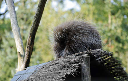 New World porcupine, or ethizontidae, sleeping in the forest photo