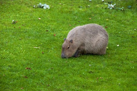Capybara (Hydrochoerus hydrochaeris ), the largest living rodent in the world photo