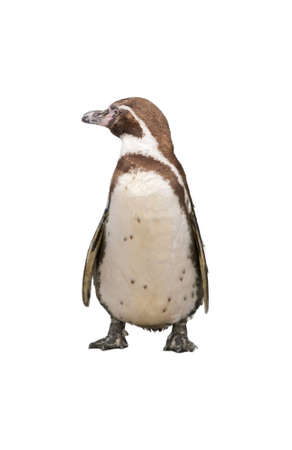 Magellanic Penguin, Spheniscus magellanicus, or  South American penguin isolated on white background Stock Photo