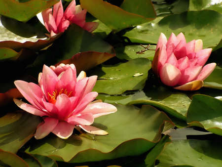 lilies: Pink water lilies