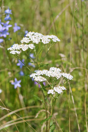 Achillea millefolium, or common yarrow, flowering plant in the family Asteraceae in the green summer field photo
