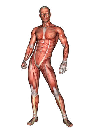 3D digital render of a male anatomy figure with muscles map isolated on white