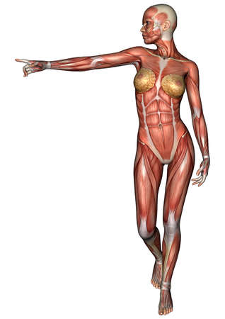 female muscle: 3D digital render of a female anatomy figure with muscles map isolated on white background