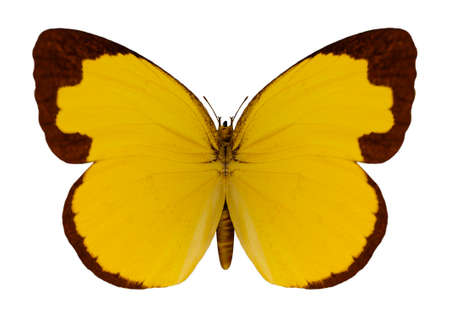 3D digital render of a Chocolate Grass Yellow butterfly isolated on white background