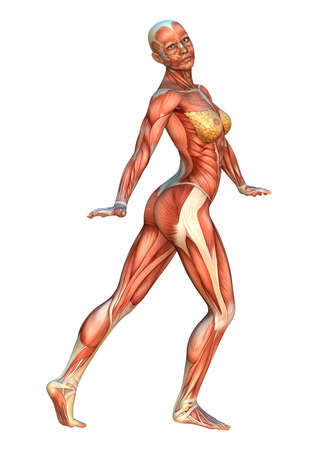 muscular system: 3D digital render of a human figure with muscle maps position isolated on white background