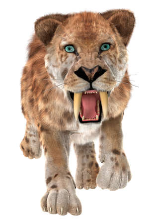 3D digital render of a trotting smilodon or a saber toothed cat isolated on white background