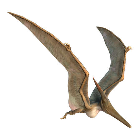 paleontology: 3D digital render of a Pteranodon flying isolated on white background