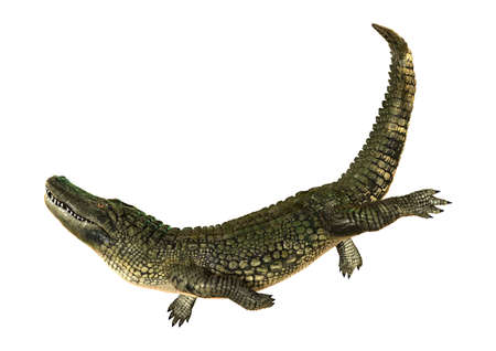 cold blooded: 3D digital render of an American alligator isolated on white background
