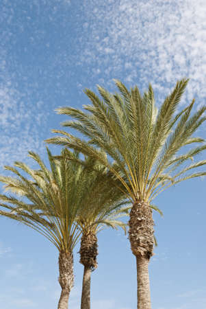 three palm trees: Three palm trees on blue sky and white clouds background