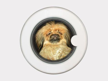 Afraid dog (pekinese) in washing machine Stock Photo - 769248