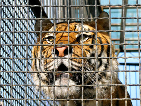 animal trap: Face of tiger in cage, close-up  Stock Photo