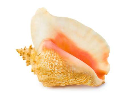 Big conch isolated on white background photo