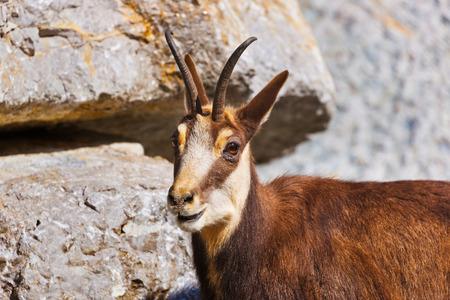 ibex ram: Mountain goat - zoo in Innsbruck Austria - animal background