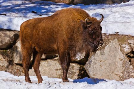 gabion: Aurochs - zoo in Innsbruck Austria - animal background