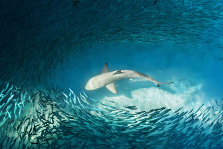 Shark and small fishes in ocean - nature background Stock Photo