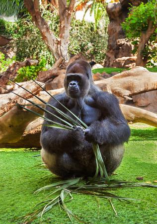 marmoset: Gorilla monkey in park at Tenerife Canary - animal background Stock Photo