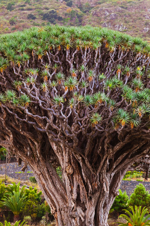 millennial: Famous Millennial Dragon Tree of Icod de los Vinos in Tenerife - Canary Islands Spain