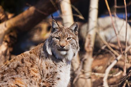 catlike: Lynx - zoo in Innsbruck Austria - animal background