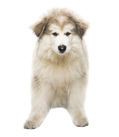 whelp: White Dog Husky Puppy, Whelp Isolated over White Background, Looking at Camera