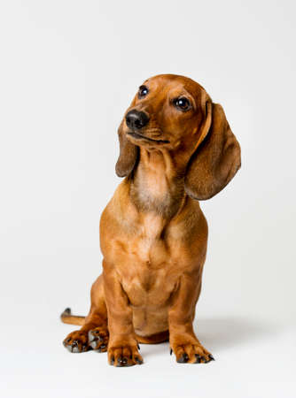 brown: Dachshund Isolated over White Background, Brown Dog Front View Looking Up