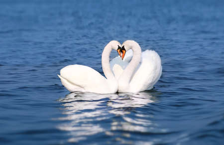 necking: Swan Fall in Love, Birds Couple Kiss, Two Animal Heart Shape