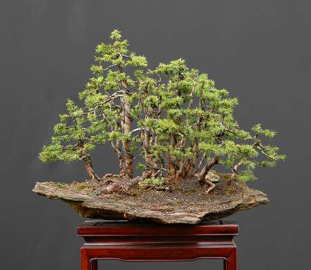 picea: bonsai, European spruce, Picea abies, forest, on stone