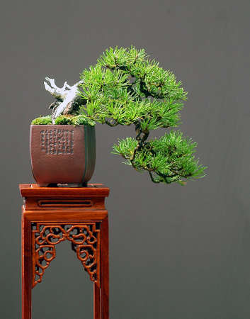 mugo: bonsai, European mountain pine, Pinus mugo, cascade