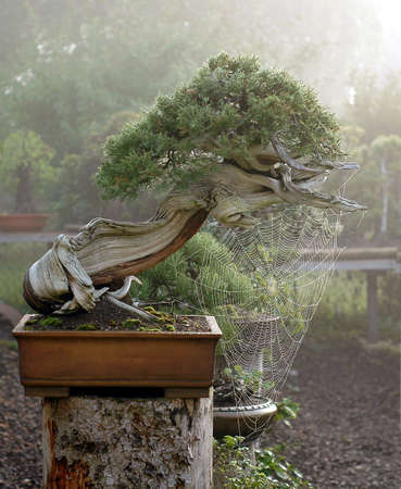 rocky mountain juniper: Rocky Mountain Juniper, Juniperus scopulorum, 60 cm high, more thatn 500 years old, collected in Wyoming, pot by Derek Aspinall, styled by Walter Pall Stock Photo