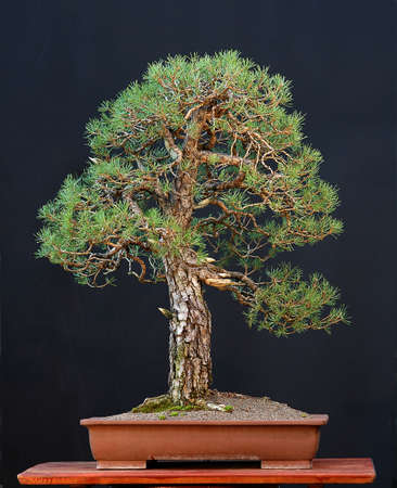 pall: Scots pine, Pinus sylvestris, 90 cm high, around 100 years old, collected in grmany, pot Chinese, styled by Walter Pall Stock Photo
