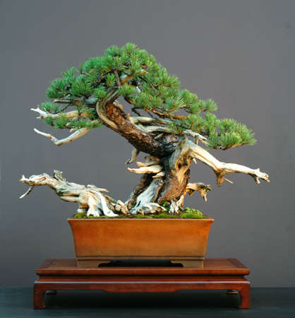 cm: mugo pine, Pinus mugo, 80 cm high, arond 300 years old, collected in Italy, pot by Drek Aspinal, styled by Walter Pall