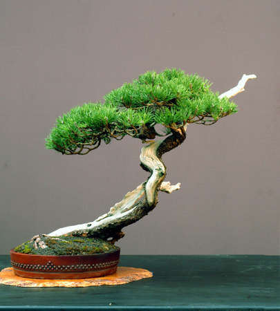 cm: mugo pine, Pinus mugo, 60 cm high, collected in Germany, styled by #walter Pall, over 150 years old, pot by Peter Krebs Stock Photo