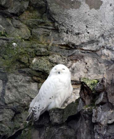 white owl: white owl Stock Photo