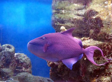 purple fish Stock Photo - 890664