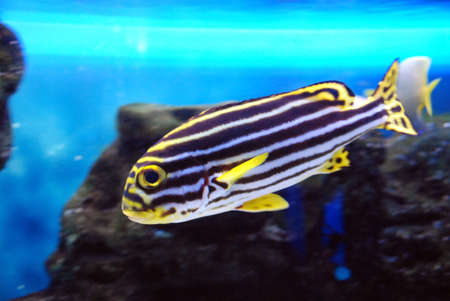 striped fish photo