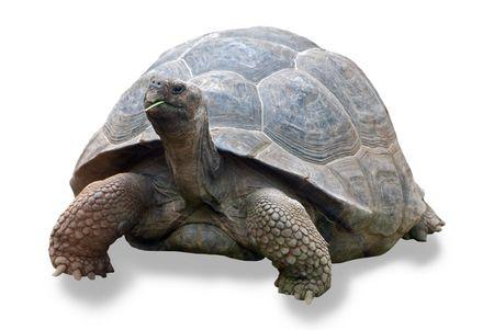large turtle: galapagos turtle