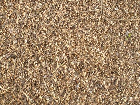 Las semillas de noni  Foto de archivo - 594189