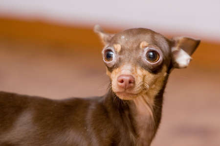 portrait of small chihuahua dog, focus on left eye Stock Photo
