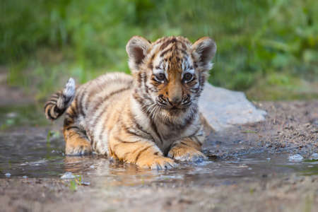 Small tiger cub lying in water photo