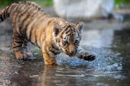 Tiger cub: peque�o cachorro de tigre jugando con el agua Foto de archivo