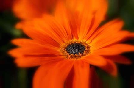 Bright orange flower with soft focus on petals