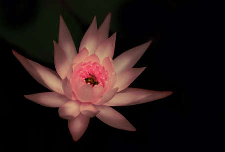 Pink Water Lily or Lotus with bee in the centre