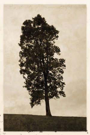 Old vintage style sepia photograph of tree with white border Stock Photo