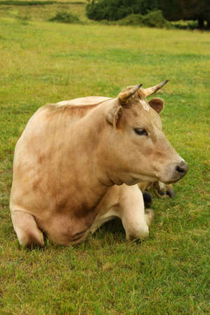 A beautiful Charolais cross cow, relaxing in green pasture Stock Photo - 2584467