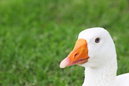 적합: Blue eyed white goose with green grass background suitable for copy space