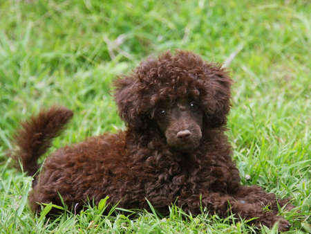 Cute Chocolate Brown Poodle Puppy Lying on Green Grass