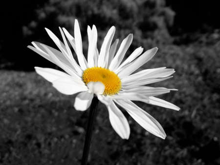 shasta daisy: Shasta Daisy in Black and White with a bright Yellow Center